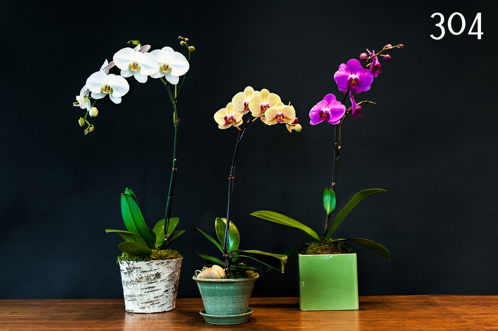 Orchid Plants #304 – Young Flowers Seattle
