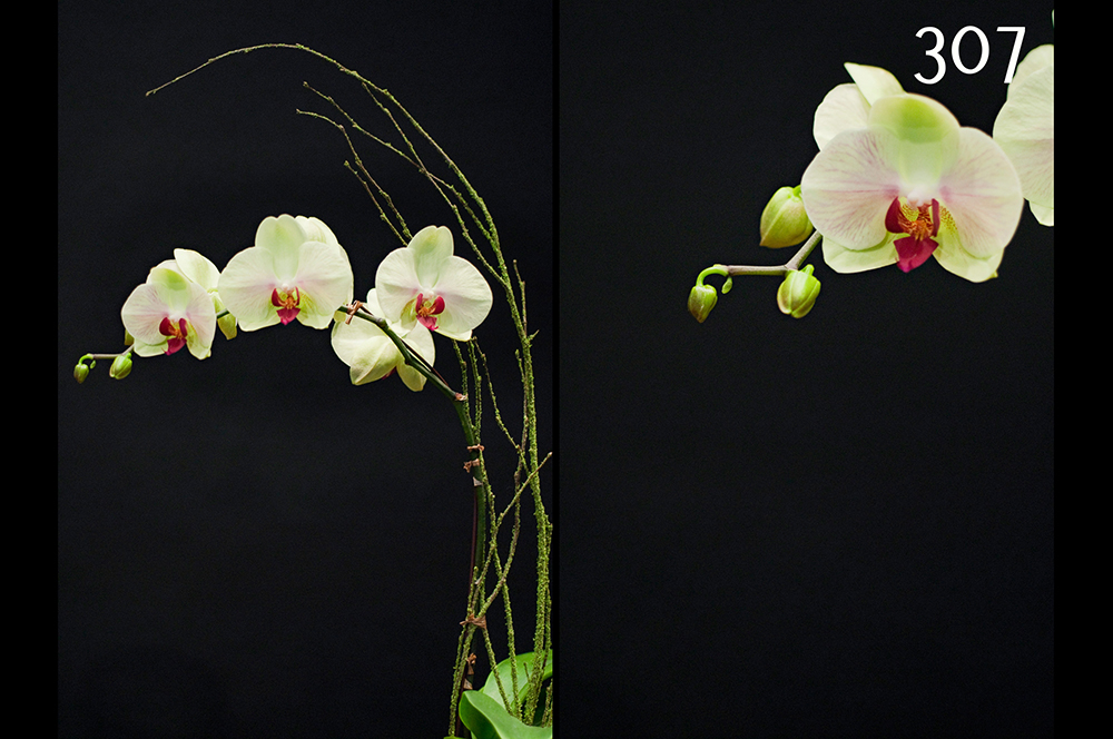 Orchid Plants #307 – Young Flowers Seattle