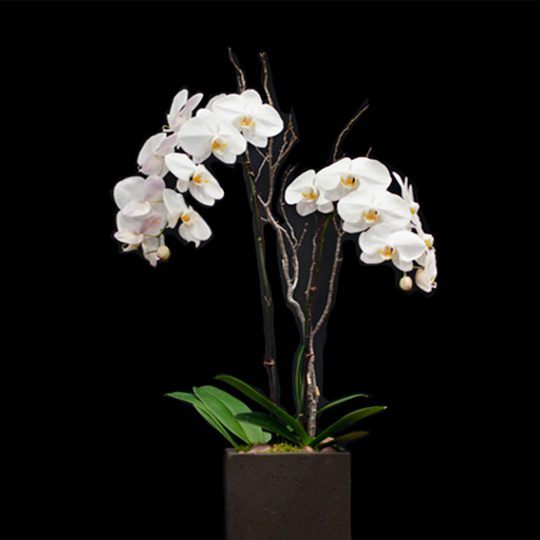 orchids-square
